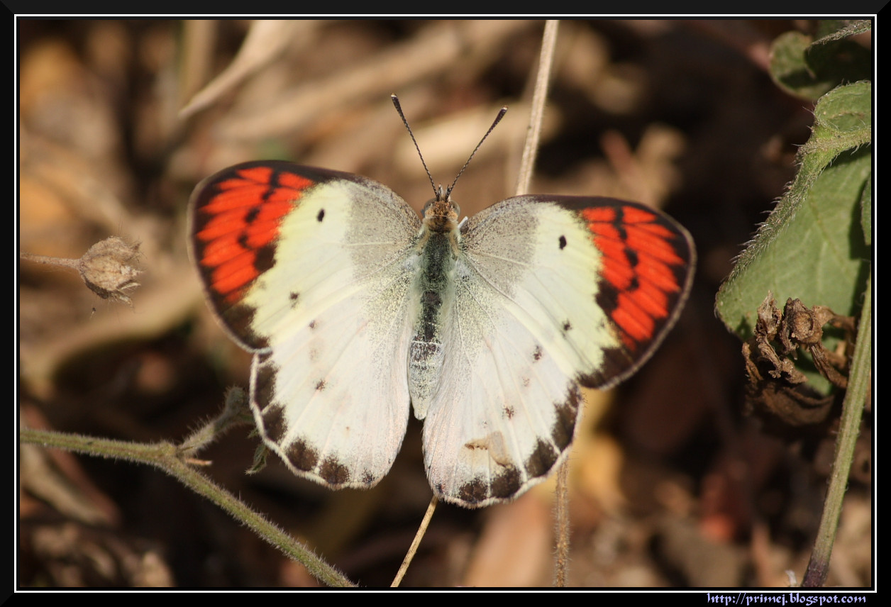 Female Crimson Tip Butterfly