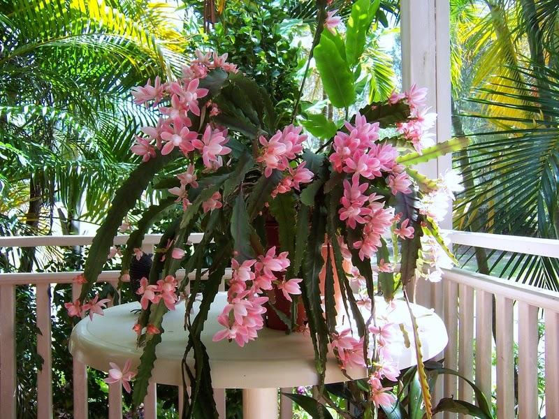 Sementes de flor cacto orquidea epiphyllum mix p mudas for Piante grasse pendenti