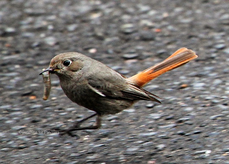 black redstart  on a street and with a worm
