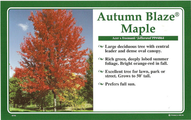 Autumn Blaze Maple3
