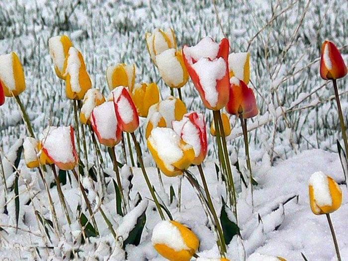 tải ảnh nền hoa tulip cho máy tính