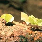 hormigas parasol