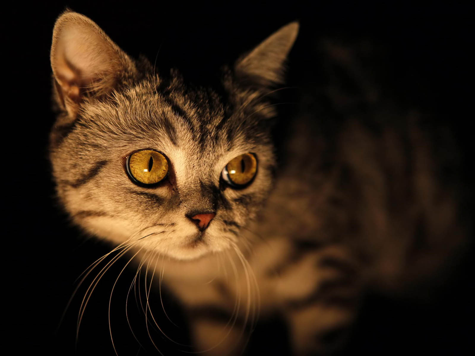 wallpapers: Yellow Eyes cat Wallpapers