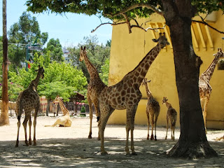 giraffes and elephants in zoo