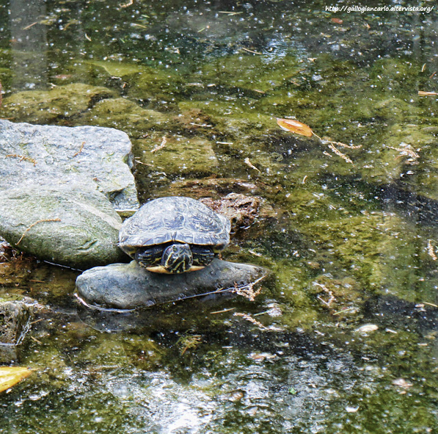 Villa prever laghetto delle tartarughe pinerolo italy for Stagno tartarughe
