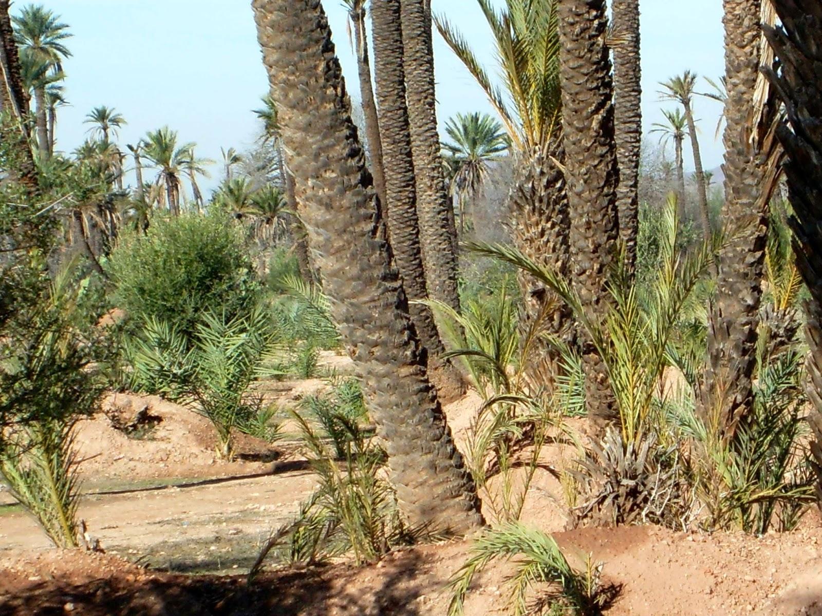 palmiers dattes maroc voyage