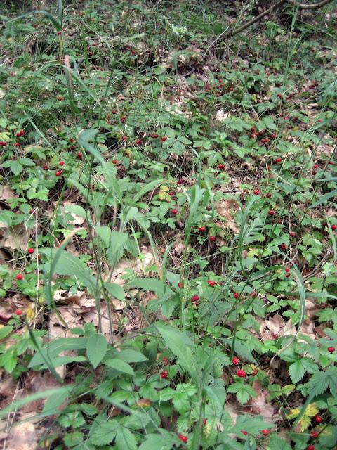 Lurchi und Piiit im Erdbeerwald