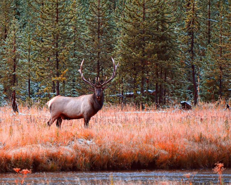 Bull Elk - Yellowstone