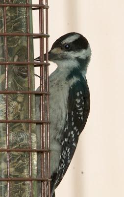 Hairy Woodpecker (Picoides villosus)
