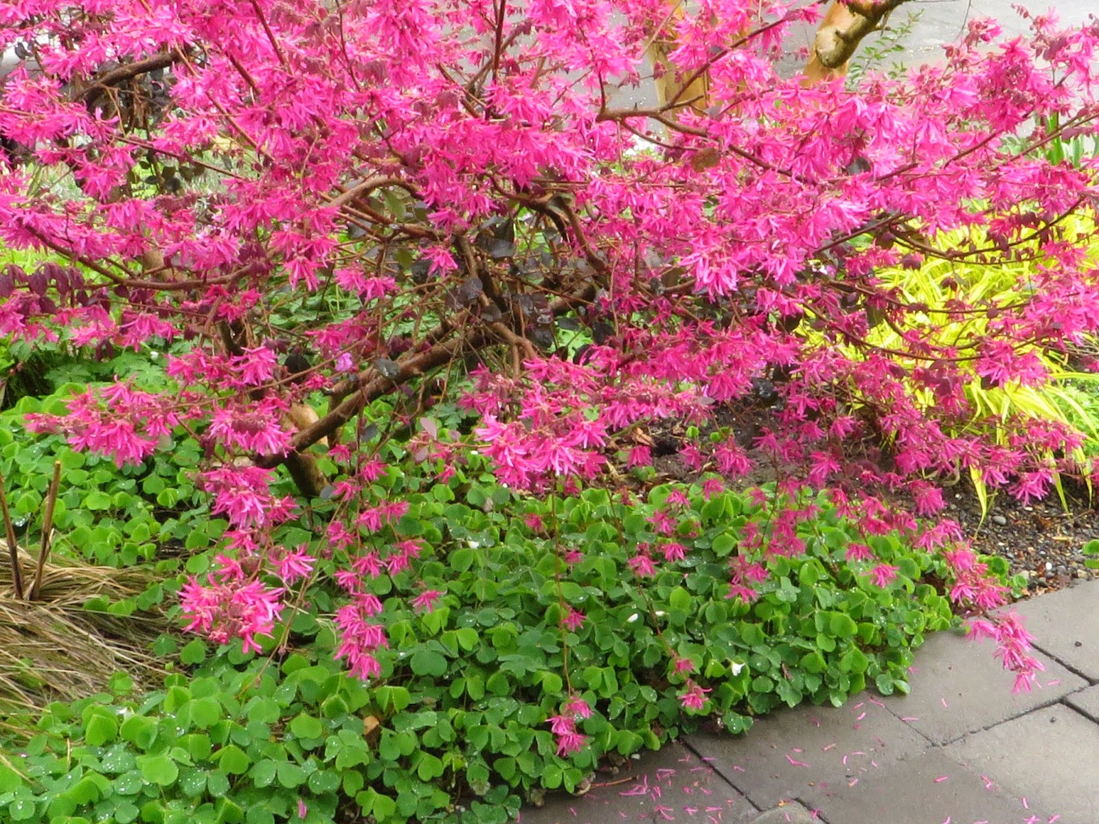 Chickadee gardens in march loropetalum chinense looking sizzling with a carpet of native oxalis oregana at its feet mightylinksfo