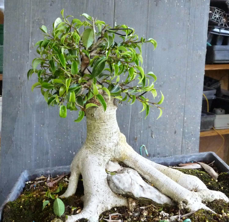 Bonsai Amp Pottery Post 175 Ficus Air Layering