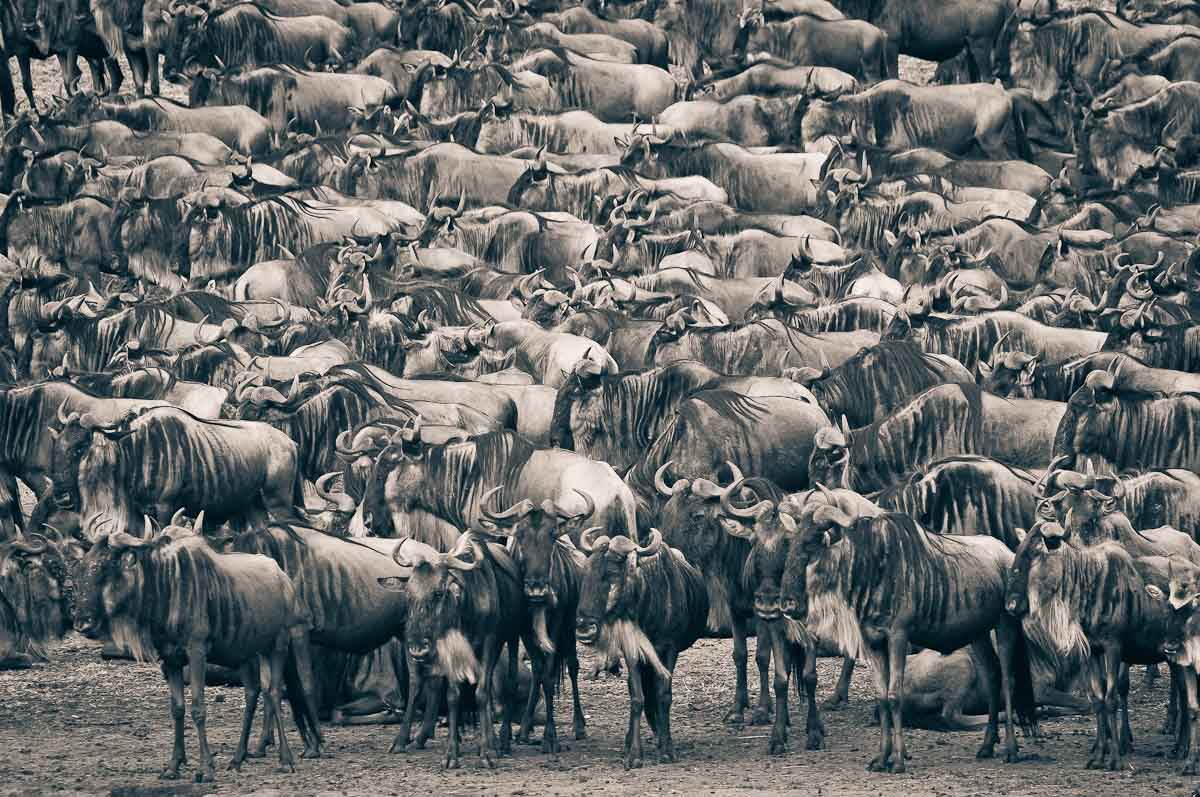 animal migration Understand africa's great serengeti wildebeest migration with a moving map where to see it, and the best camps.