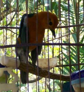 merawat burung tledekan gacor