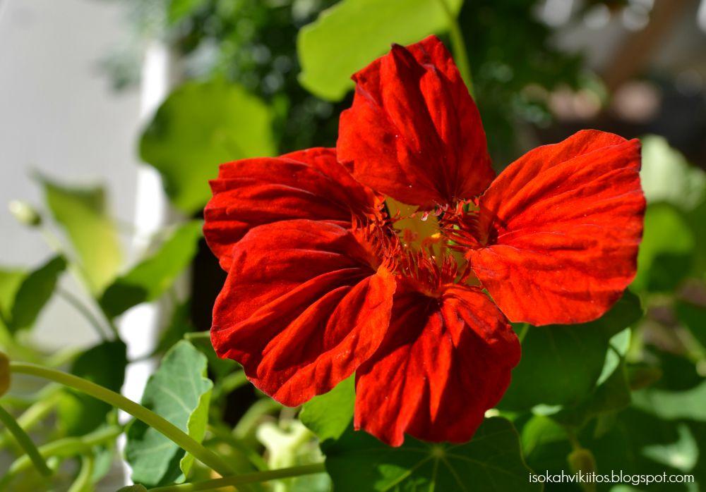 Mitä kukkia kasvimaalle