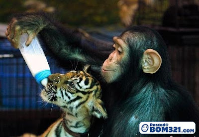 Monyet Menyusukan Anak Harimau