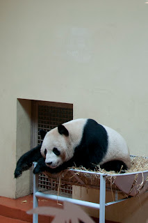 pandas in the Uk
