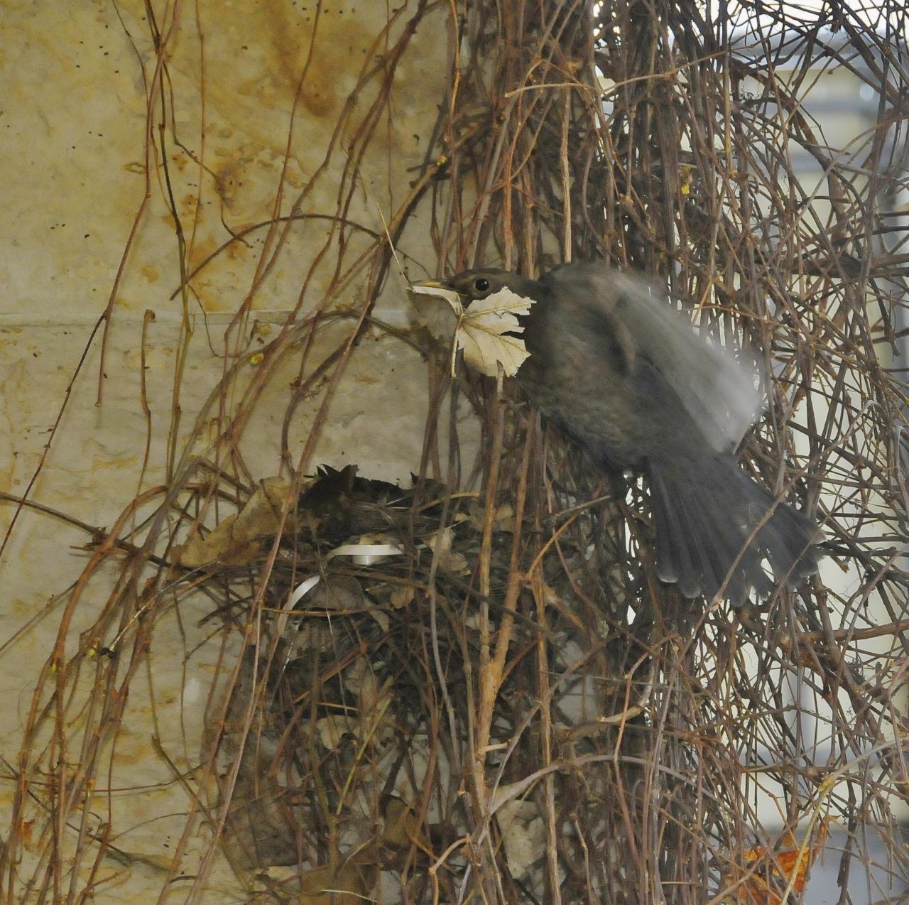 grasgefl ster der fr hling baut sich auf unserem balkon ein nest. Black Bedroom Furniture Sets. Home Design Ideas