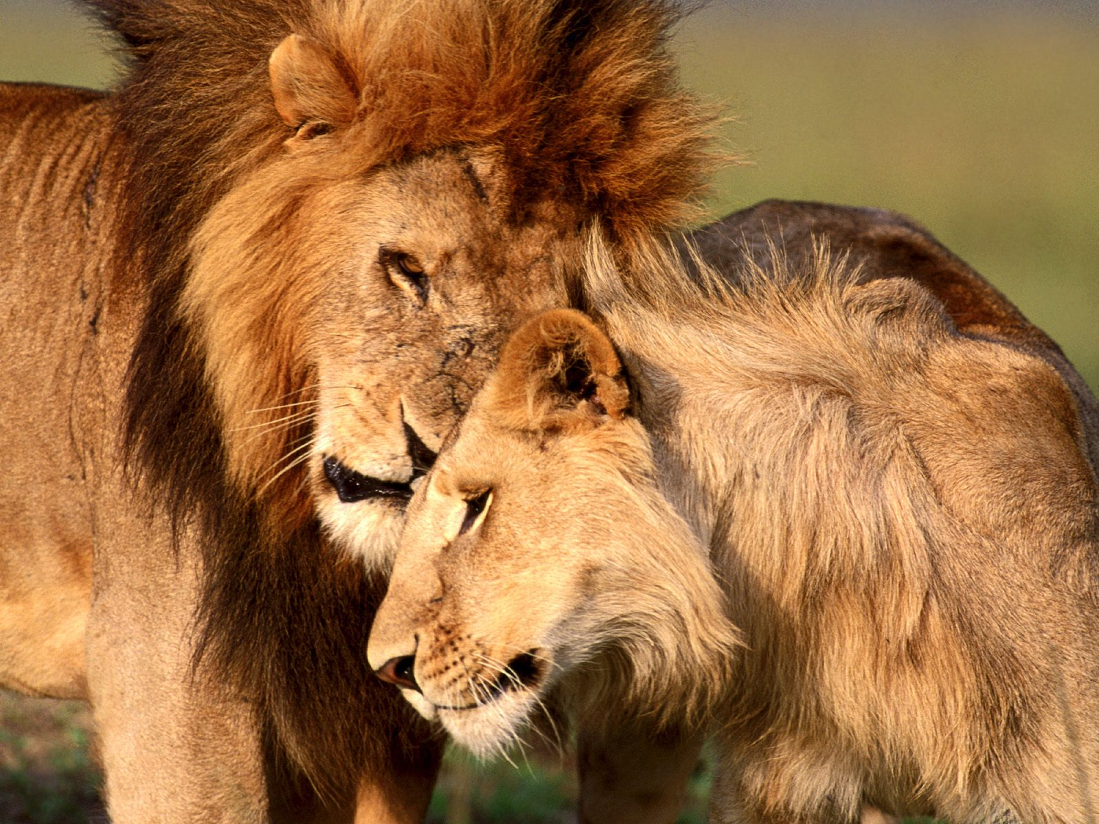 My Top Collection: Lion and lioness pictures  Lioness