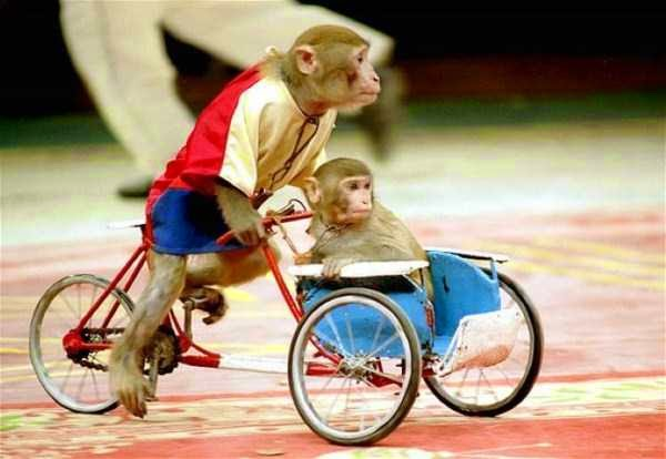Macaco inteligente