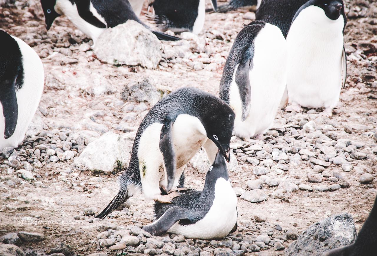 Kopulierende Pinguine