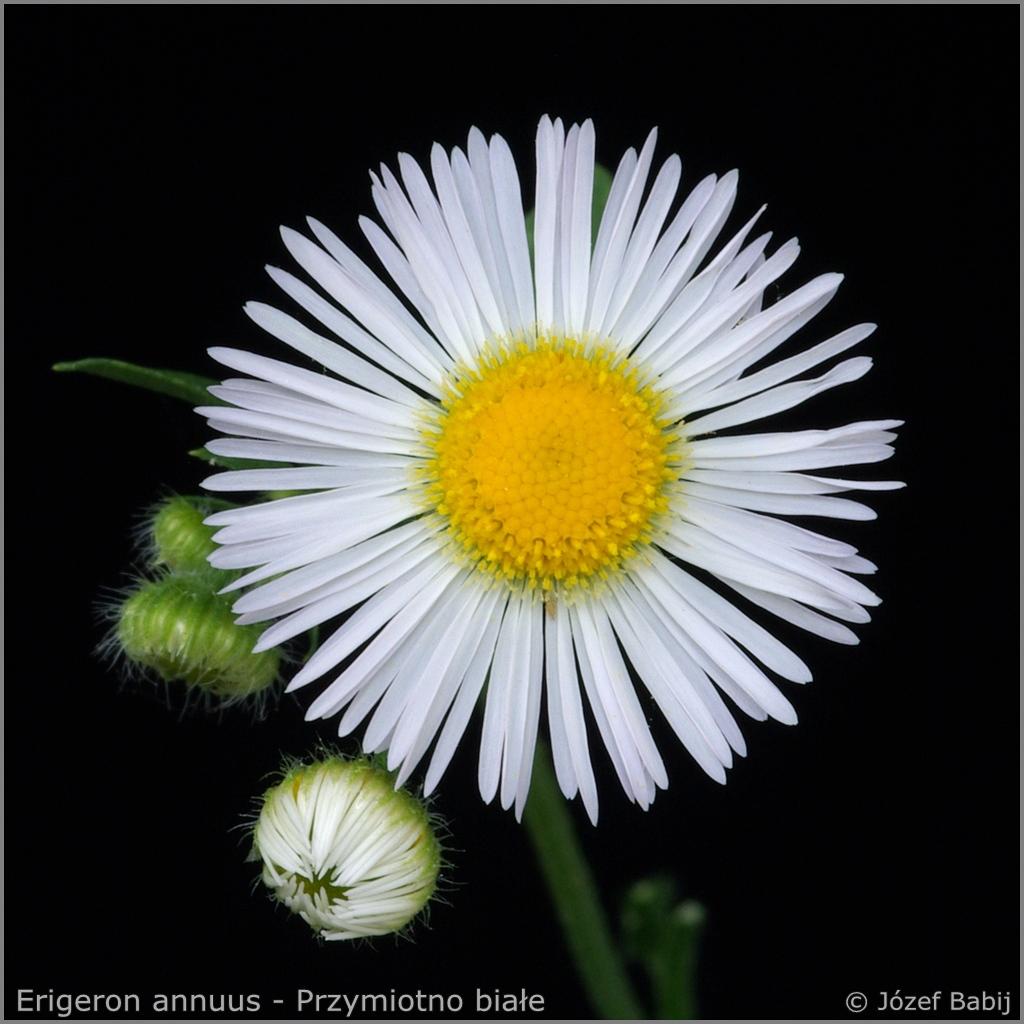 Erigeron annuus flower - Przymiotno białe   kwiat