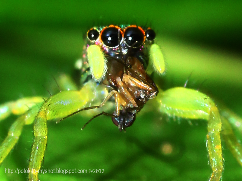 Colorful jumping spider - photo#13