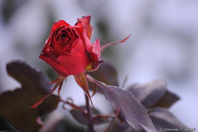 Rosa rossa al gelo