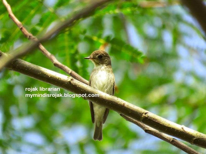 Asian Brown Flycatcher in Tampines Echo Green