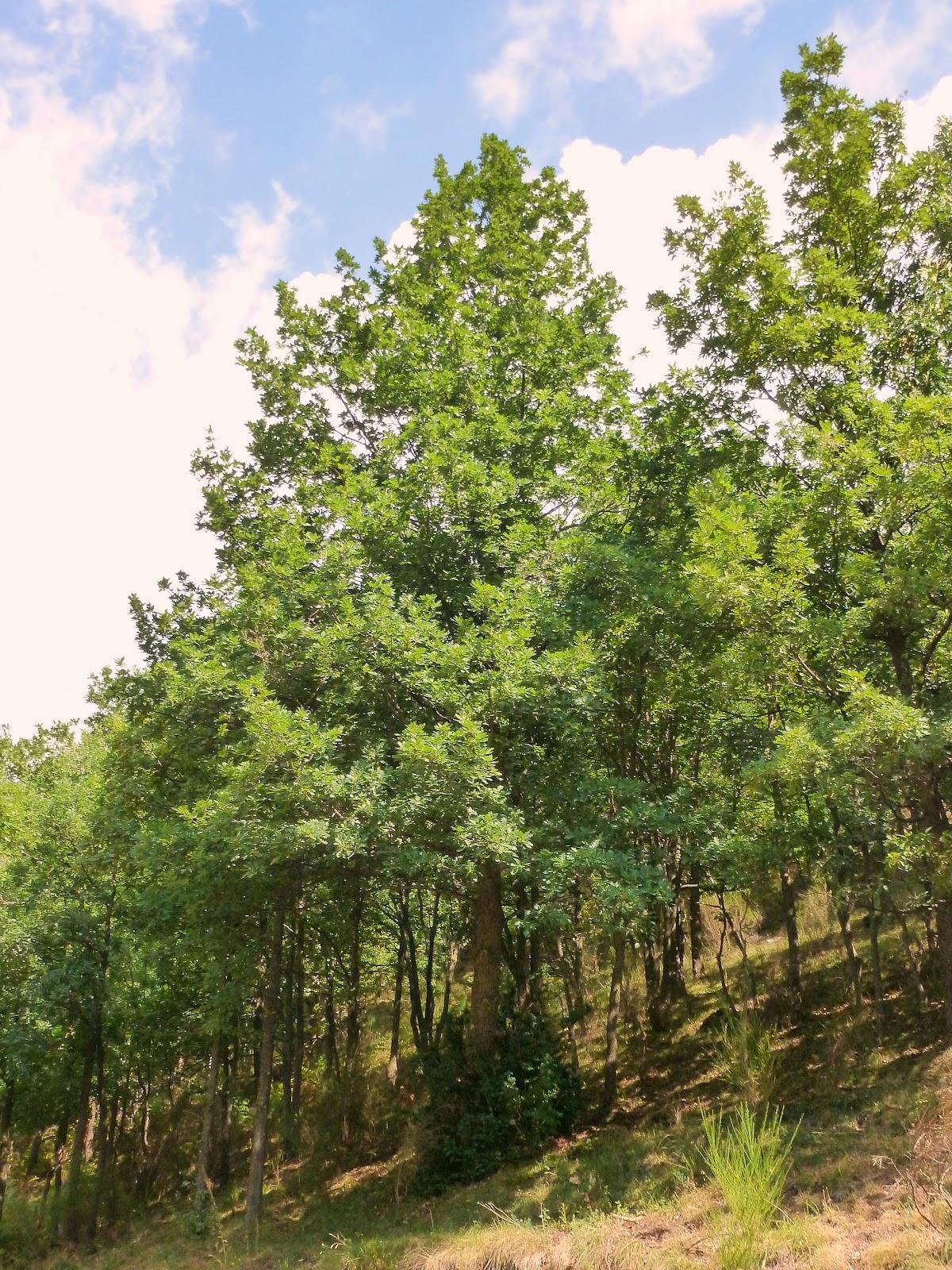 Rboles con alma roble albar quercus petraea - Fotos del roble ...
