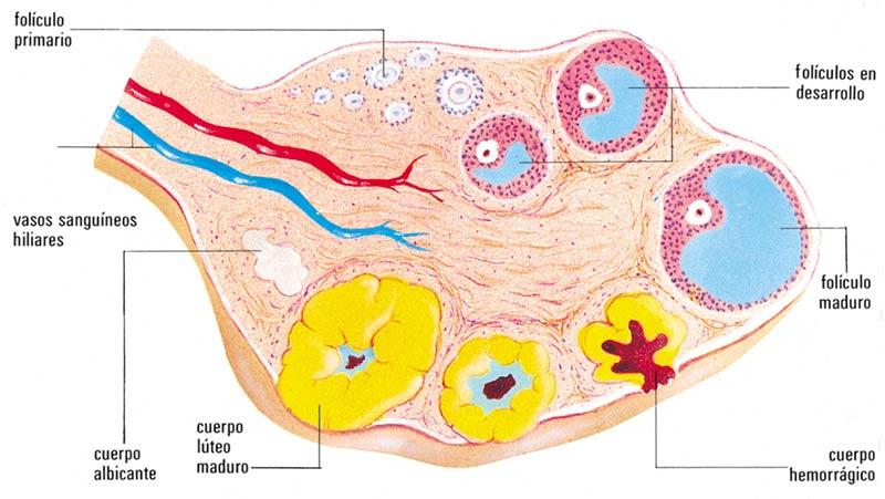esteroidogenesis wikipedia