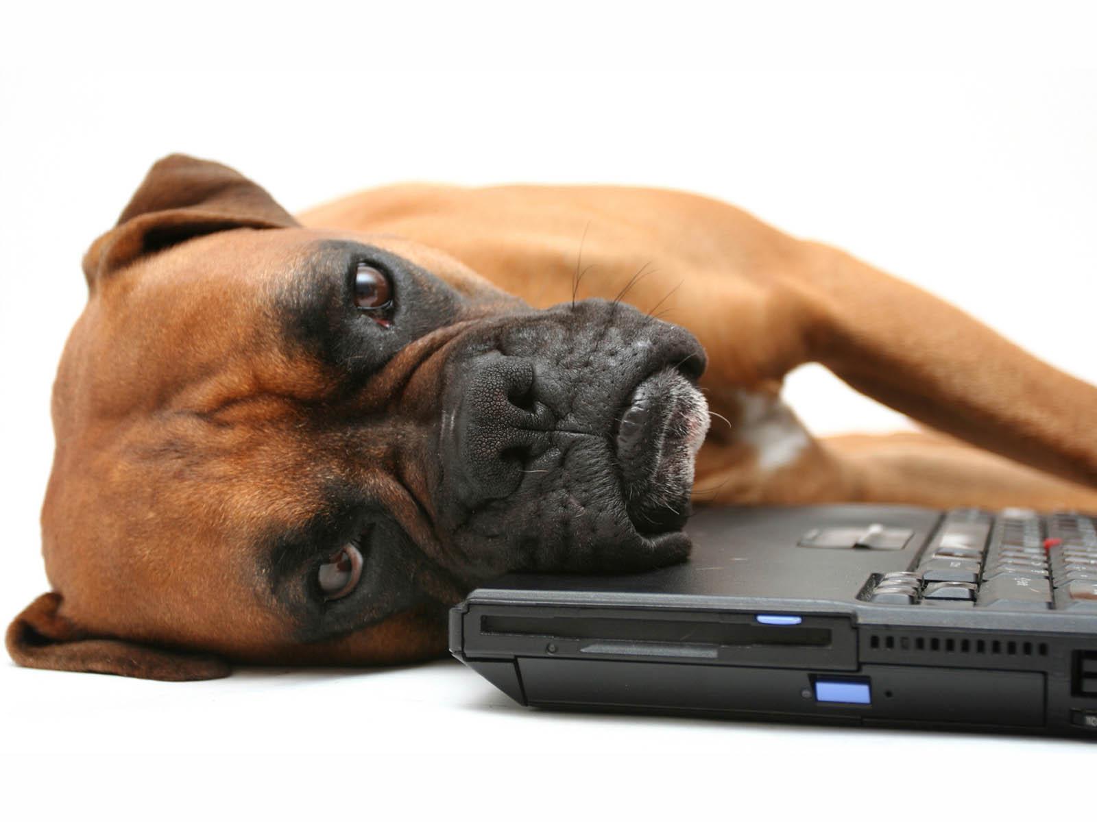 http://2.bp.blogspot.com/-8l_jjrW9D5M/UBY_cXy6HtI/AAAAAAAAGzA/TVBpQyzCRns/s1600/Boxer+Dog+Wallpapers+3.jpg