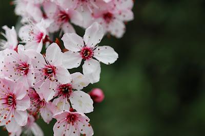 Sakura_Tree_by_kwang411.jpg