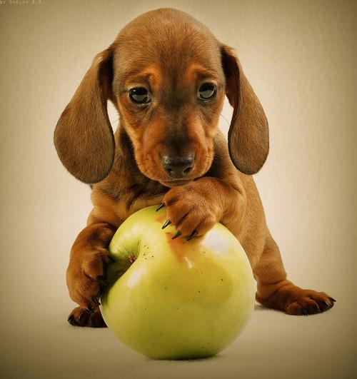 [Image: dachshund%2Bpuppy%2Bwith%2Bapple.jpg]
