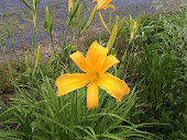 XL Yellow/Orange Daylily
