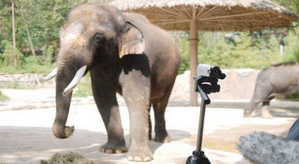 Unik, Gajah Ini Bisa Berbicara Bahasa Korea