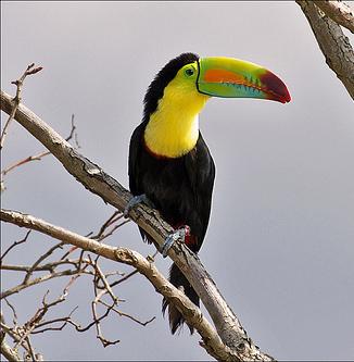 Kicau Suara Burung Rangkong Aka Rangok Aka Hornbills