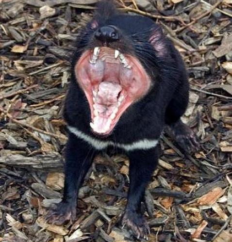 Hallado el origen del cáncer facial del demonio de Tasmania ~ El ...