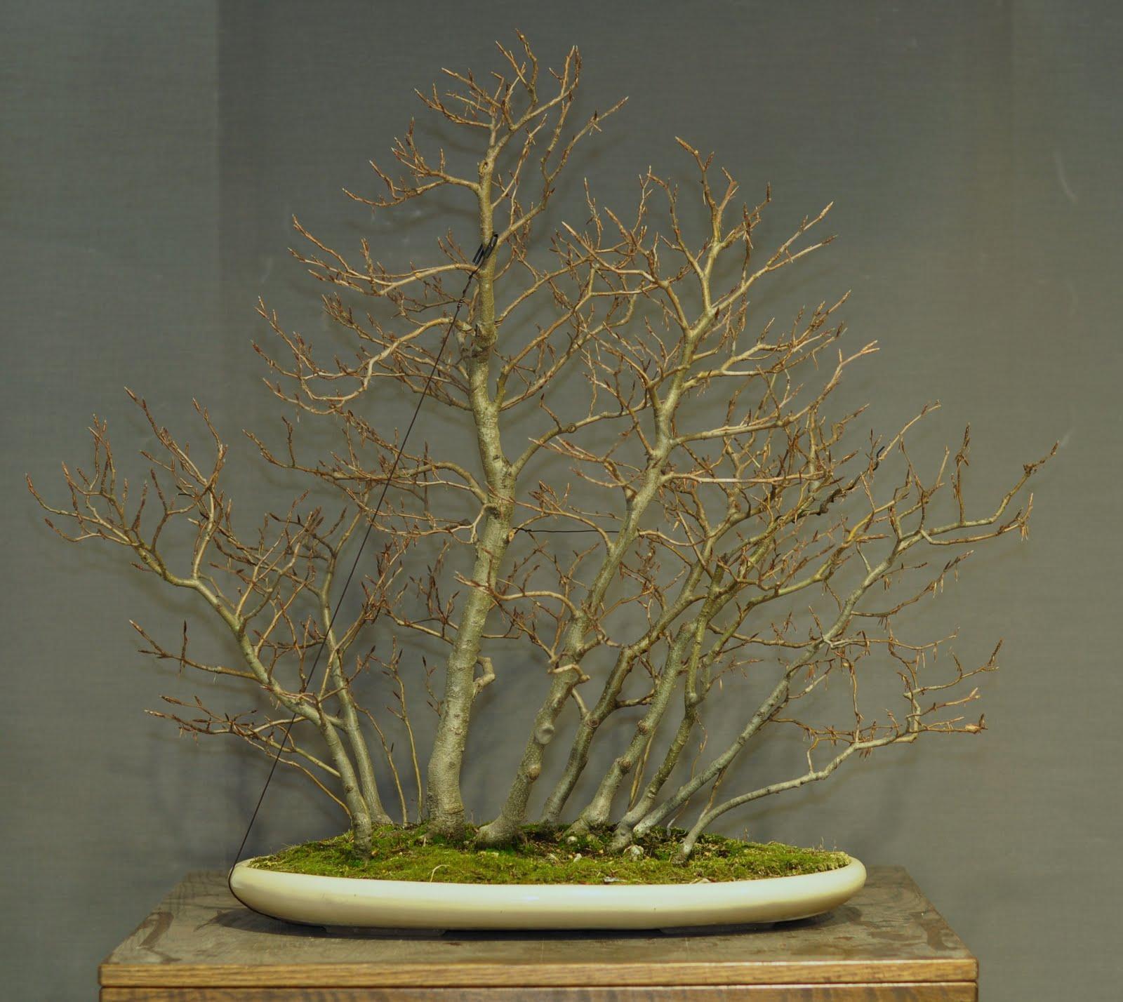 bonsai und beistellpflanzen rotbuchenwald. Black Bedroom Furniture Sets. Home Design Ideas