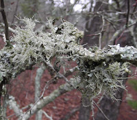 lichen threads
