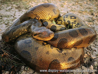 Great Anaconda Snake Wallpapers