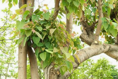 Peepal, Ficus religious