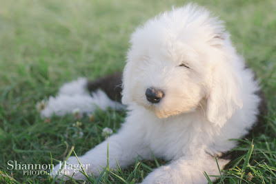 Shannon Hager Photography, Old English Sheepdog Puppy, Snowdowne