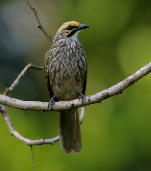 Burung cucak rowo beberapa tips cara merawat atau memelihara burung