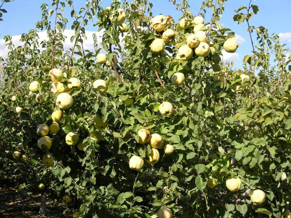 quince fruit in spanish is pineapple a citrus fruit
