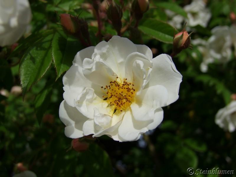 weisse rose im garten