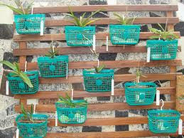 Orquídeas plantadas cesta grampos...