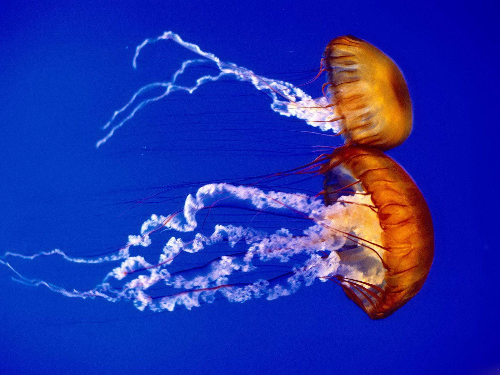 Jellyfish the biggest animals kingdom for Fish in jellyfish