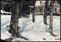 メープルシロップを採取しているカエデの木