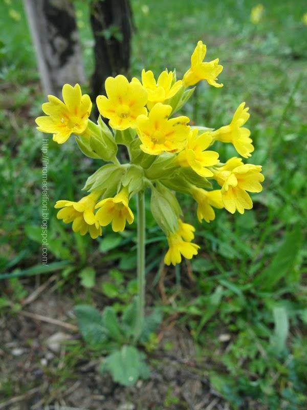 In nome dei fiori primula odorosa piccoli fiori gialli for Fiori immagini e nomi