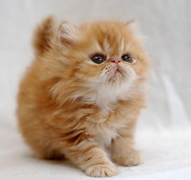 10 Things You Should Know about Persian Cats